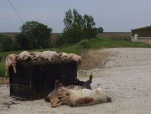 dead hogs in iowa